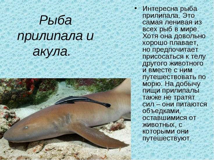 Рыба прилипала и акула. Интересна рыба прилипала. Это самая ленивая из всех ...