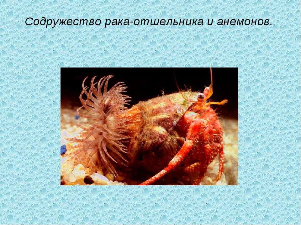 Содружество рака-отшельника и анемонов.