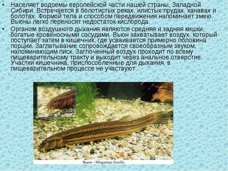 Населяет водоемы европейской части нашей страны, Западной Сибири. Встречается...