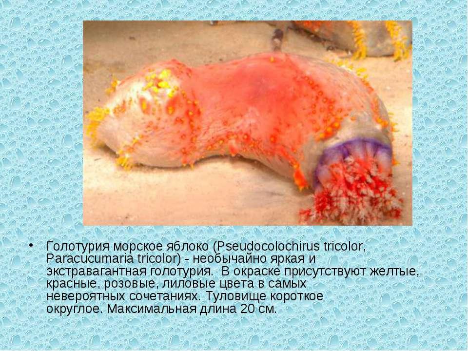 Голотурия морскоеяблоко (Pseudocolochirustricolor, Paracucumariatricolor) ...
