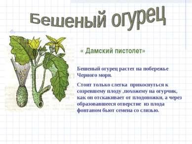 Бешеный огурец растет на побережье Черного моря. Стоит только слегка прикосну...