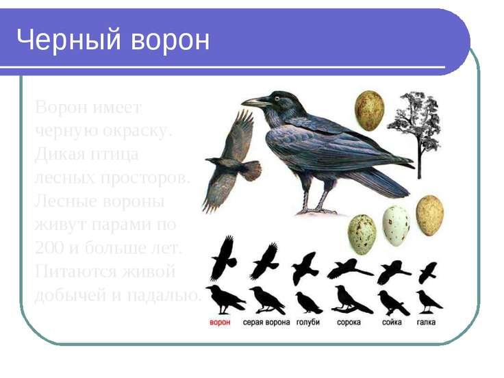 Черный ворон Ворон имеет черную окраску. Дикая птица лесных просторов. Лесные...