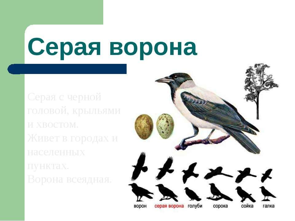 Серая ворона Серая с черной головой, крыльями и хвостом. Живет в городах и на...