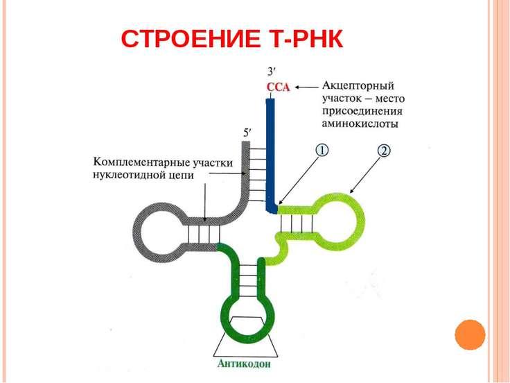 СТРОЕНИЕ Т-РНК