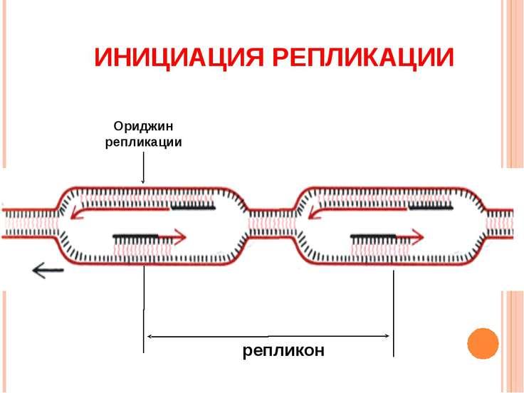 Ориджин репликации репликон ИНИЦИАЦИЯ РЕПЛИКАЦИИ