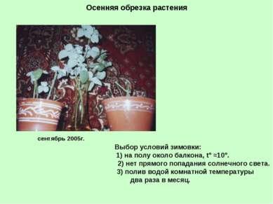 Осенняя обрезка растения сентябрь 2005г. Выбор условий зимовки: 1) на полу ок...