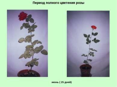 Период полного цветения розы июнь ( 25 дней)