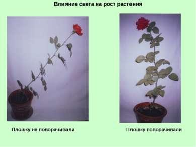 Влияние света на рост растения Плошку не поворачивали Плошку поворачивали