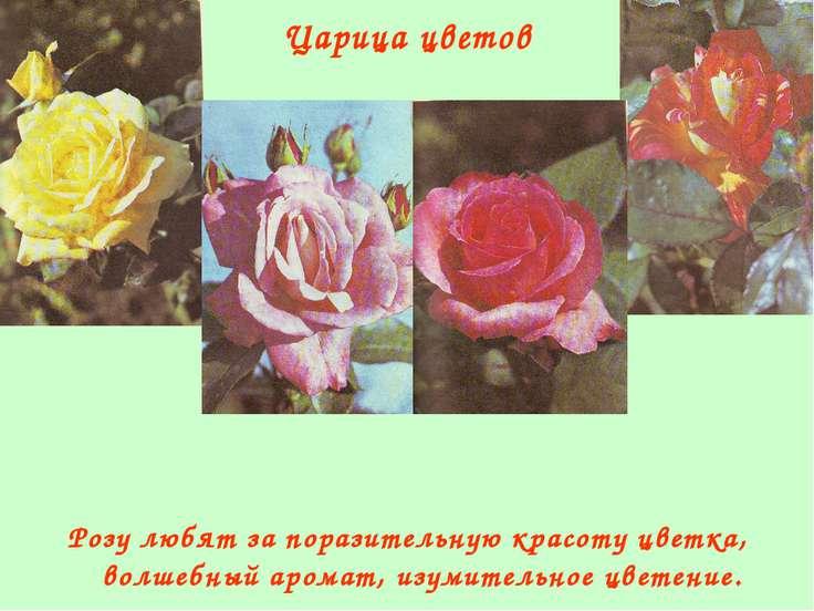 Царица цветов Розу любят за поразительную красоту цветка, волшебный аромат, и...