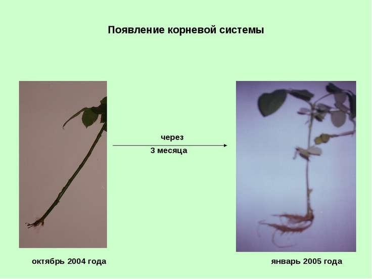 Появление корневой системы через 3 месяца октябрь 2004 года январь 2005 года