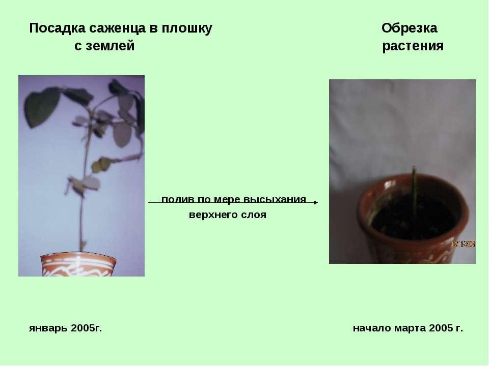 Посадка саженца в плошку Обрезка с землей растения полив по мере высыхания ве...