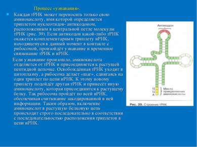 Процесс «узнавания». Каждая тРНК может переносить только свою аминокислоту, и...