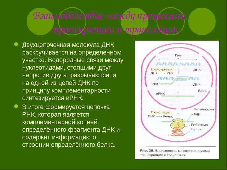 Взаимодействие между процессами транскрипции и трансляции. Двухцепочечная мол...