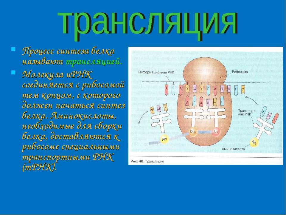 Процесс синтеза белка называют трансляцией. Молекула иРНК соединяется с рибос...