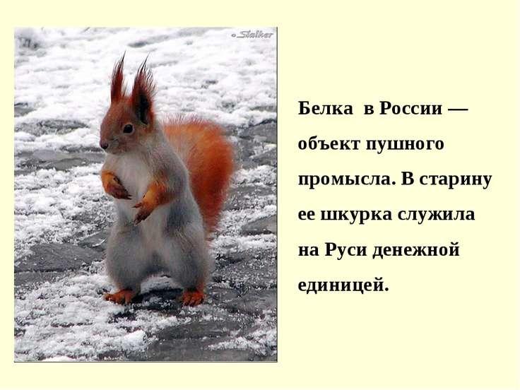 Белка в России — объект пушного промысла. В старину ее шкурка служила на Руси...