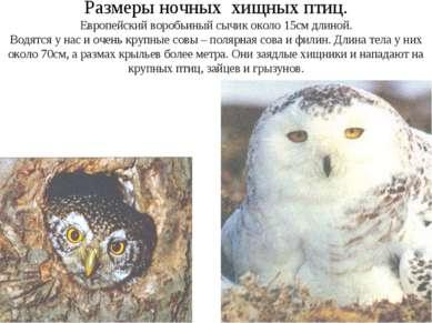 Размеры ночных хищных птиц. Европейский воробьиный сычик около 15см длиной. В...