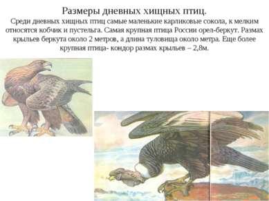 Размеры дневных хищных птиц. Среди дневных хищных птиц самые маленькие карлик...