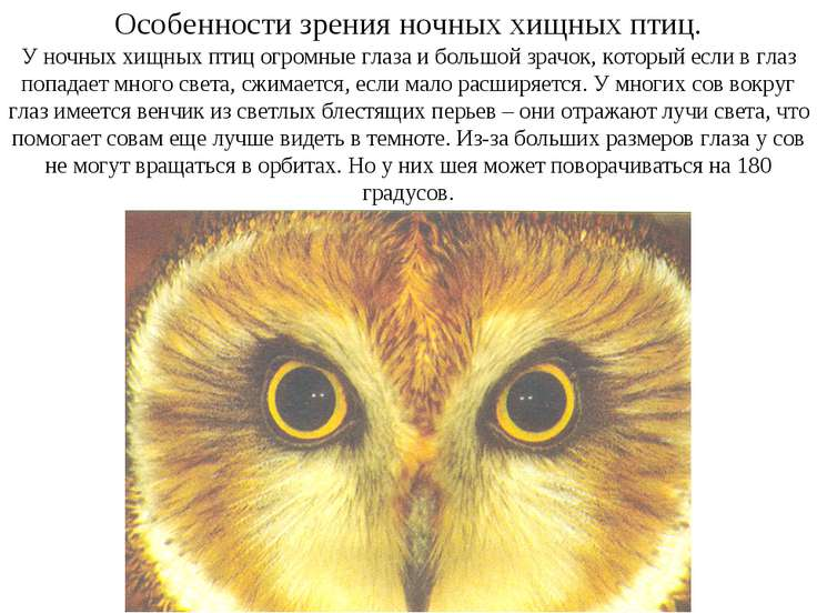 Особенности зрения ночных хищных птиц. У ночных хищных птиц огромные глаза и ...