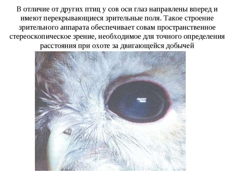 В отличие от других птиц у сов оси глаз направлены вперед и имеют перекрывающ...