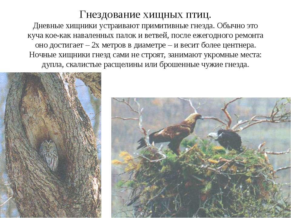 Гнездование хищных птиц. Дневные хищники устраивают примитивные гнезда. Обычн...