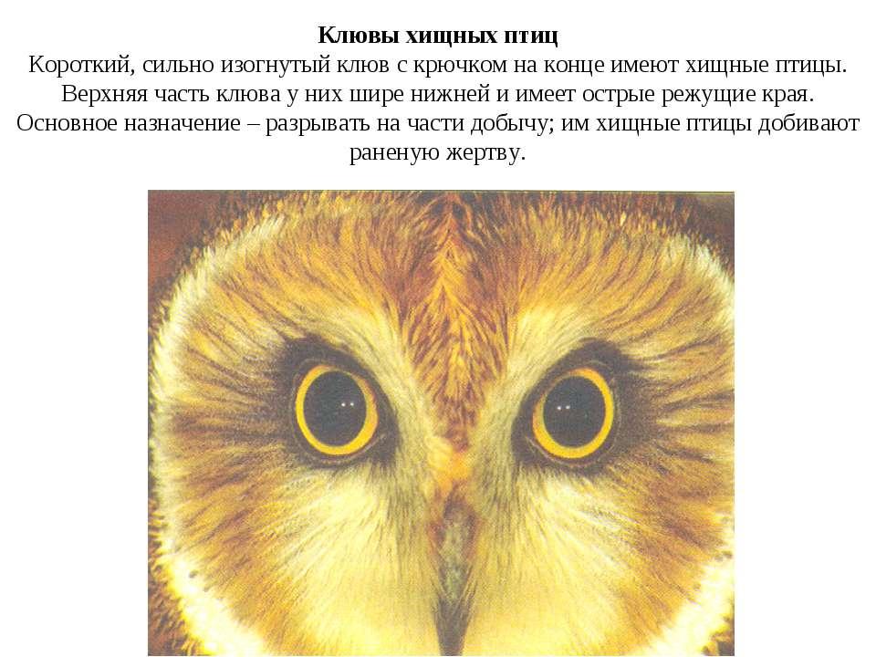 Клювы хищных птиц Короткий, сильно изогнутый клюв с крючком на конце имеют хи...