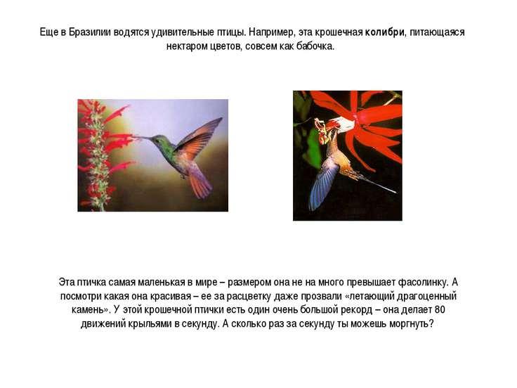 Еще в Бразилии водятся удивительные птицы. Например, эта крошечная колибри, п...