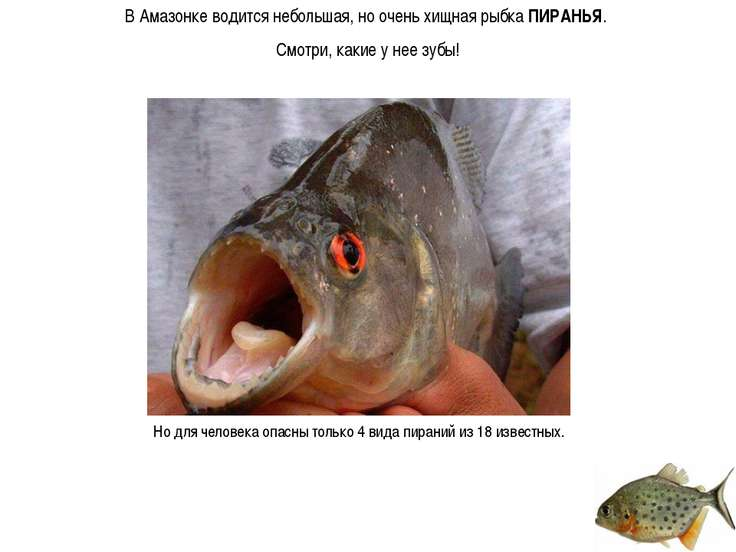 В Амазонке водится небольшая, но очень хищная рыбка ПИРАНЬЯ. Смотри, какие у ...