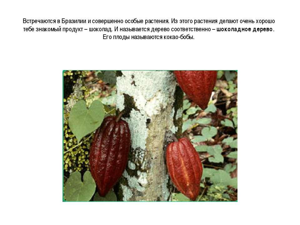 Встречаются в Бразилии и совершенно особые растения. Из этого растения делают...