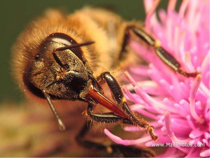 пчелы - презентация по биологии