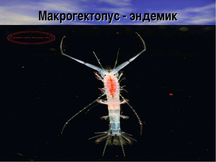 Макрогектопус - эндемик