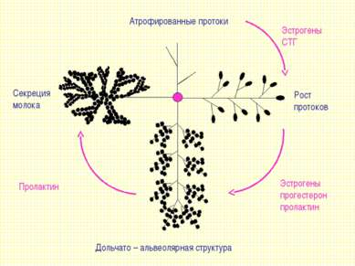 Атрофированные протоки Рост протоков Секреция молока Дольчато – альвеолярная ...