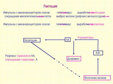 Лактация Импульсы с механорецепторов сосков гипоталамус выработка окситоцина ...