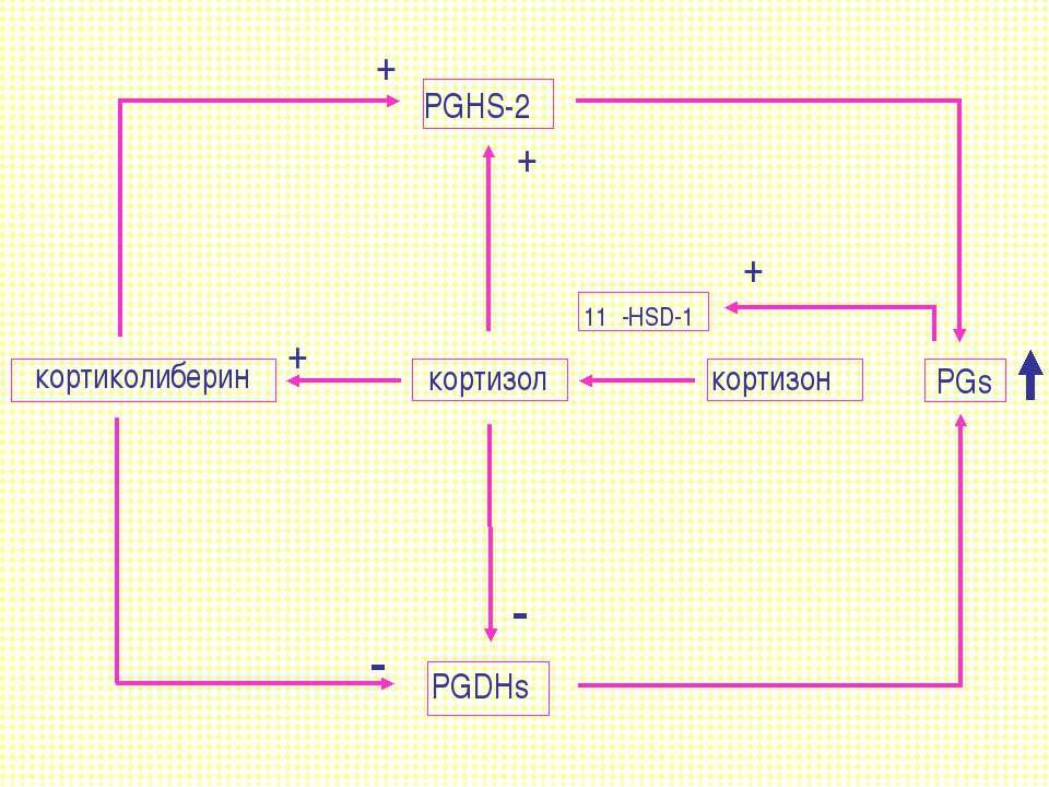 кортиколиберин кортизол кортизон PGs PGHS-2 PGDHs 11β-HSD-1 + + + + - -