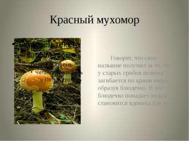 Красный мухомор Говорят, что свое название получил за то, что у старых грибов...