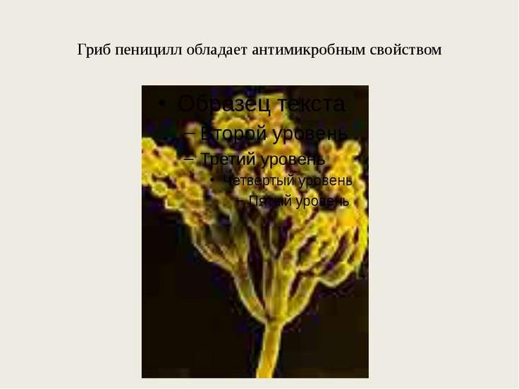 Гриб пеницилл обладает антимикробным свойством