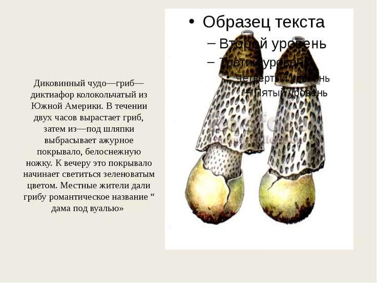 Диковинный чудо—гриб—диктиафор колокольчатый из Южной Америки. В течении двух...