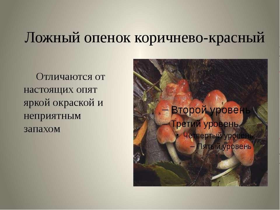 Ложный опенок коричнево-красный Отличаются от настоящих опят яркой окраской и...