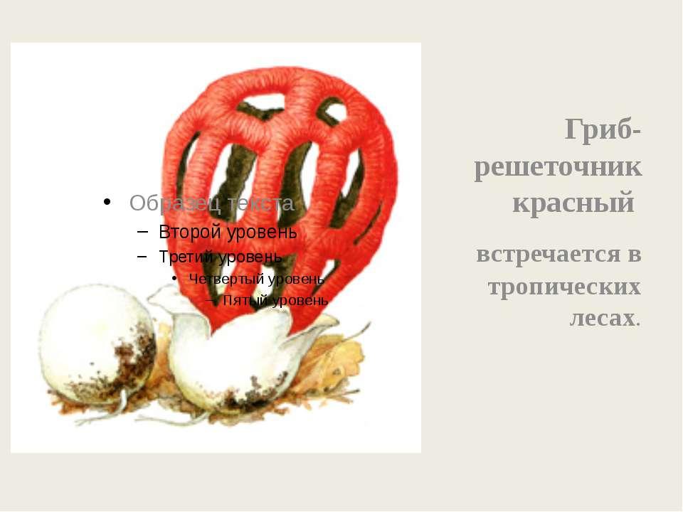 Гриб- решеточник красный встречается в тропических лесах.
