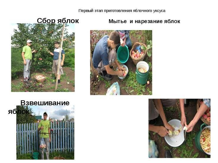 Первый этап приготовления яблочного уксуса Сбор яблок Взвешивание яблок Мытье...