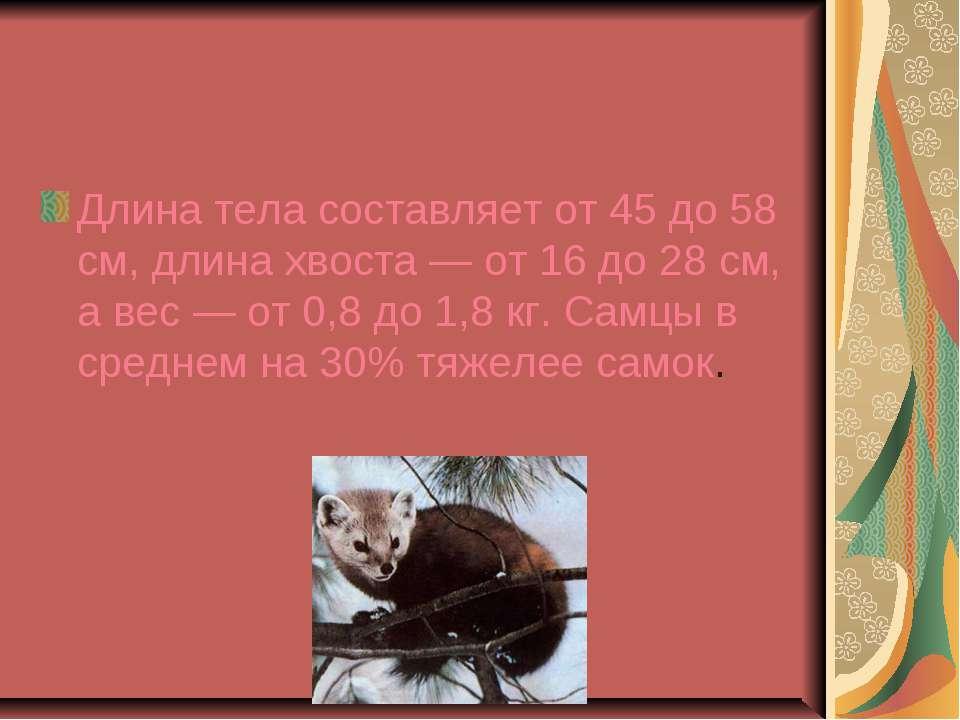 Длина тела составляет от 45 до 58 см, длина хвоста — от 16 до 28 см, а вес — ...