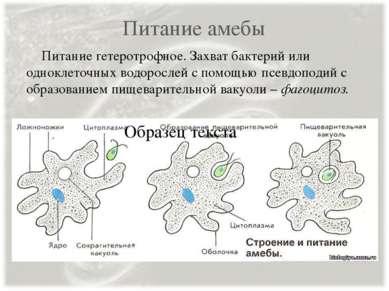 Питание амебы Питание гетеротрофное. Захват бактерий или одноклеточных водоро...