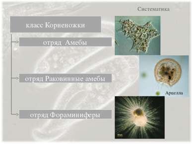Систематика класс Корненожки отряд Амебы отряд Раковинные амебы отряд Форамин...