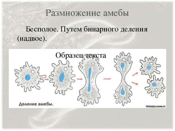 Размножение амебы Бесполое. Путем бинарного деления (надвое).