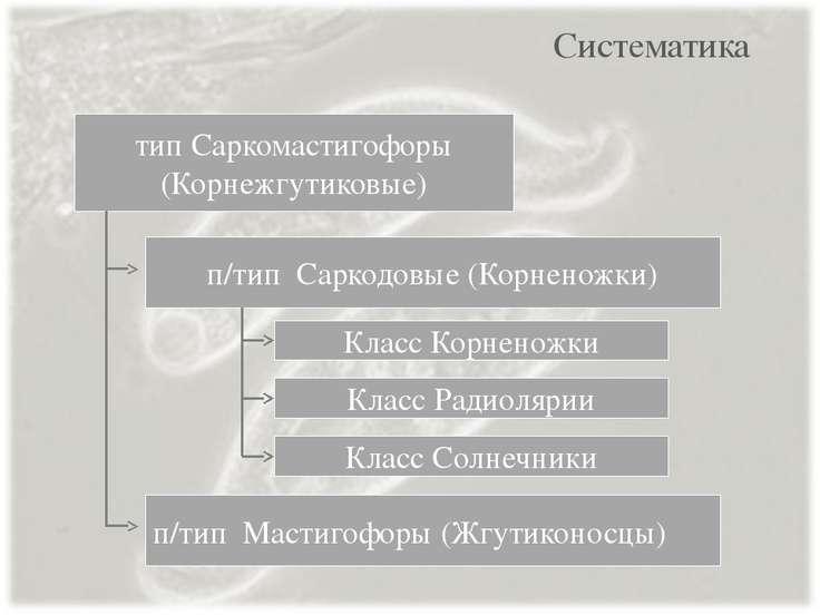 Систематика п/тип Саркодовые (Корненожки) п/тип Мастигофоры (Жгутиконосцы) ти...