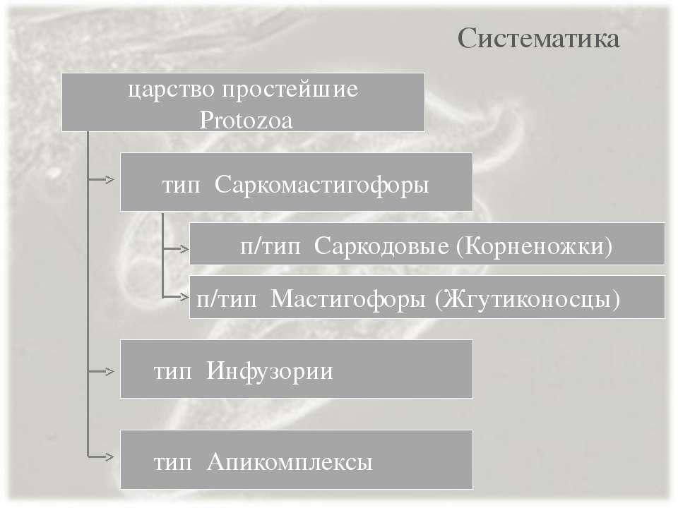 Систематика тип Саркомастигофоры тип Инфузории царство простейшие Protozoa ти...