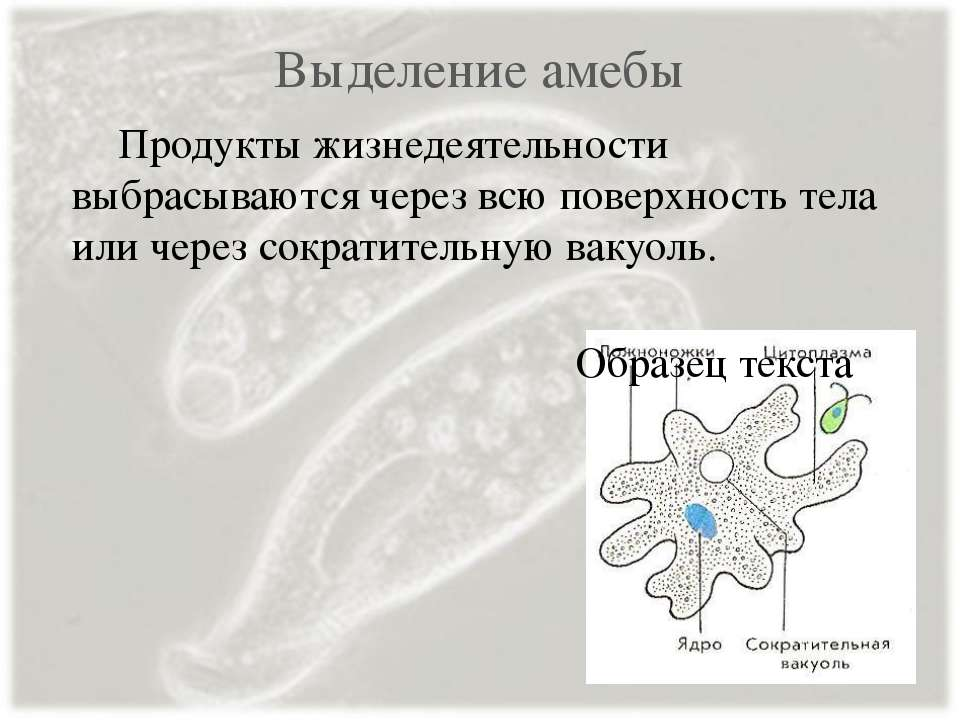 Выделение амебы Продукты жизнедеятельности выбрасываются через всю поверхност...