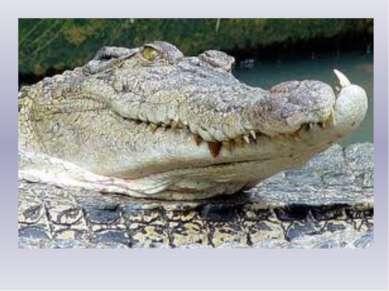Крокодил Один мудрый крокодил Рыбу удочкой довил. Нес в ведерочке с водой Рыб...