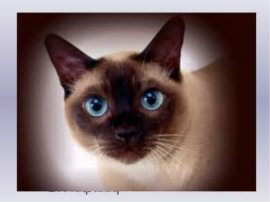 Сиамский кот Я шёрстки не видывал Тоньше и глаже, Глаза же и мордочка Словно ...