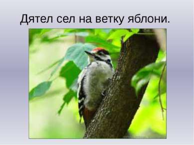Дятел сел на ветку яблони.