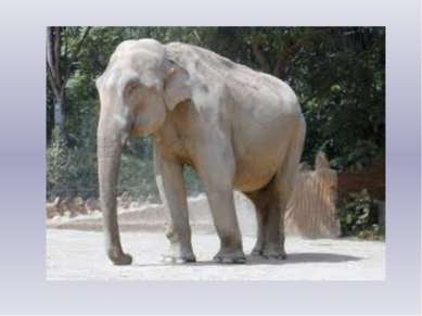 Спит спокойно старый слон – Стоя спать умеет он. С. Маршак